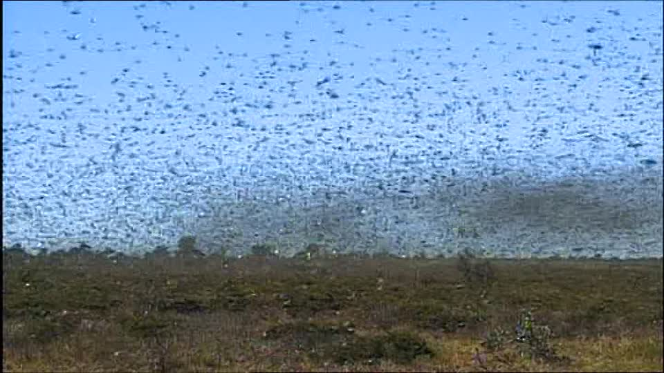 585258508-scrubland-swarm-of-insects-grasshopper-lowlands